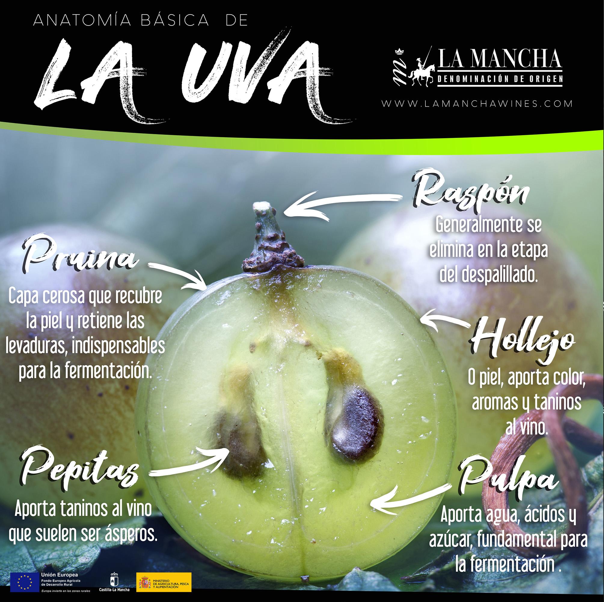 Anatomia-de-LA-UVA