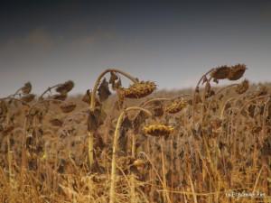 Girasoles en Otoño