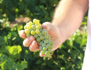 Un viticultor manchego hectáreas de sauvignon blanc