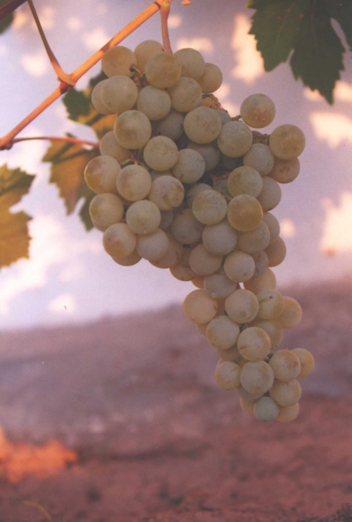 Airen grape