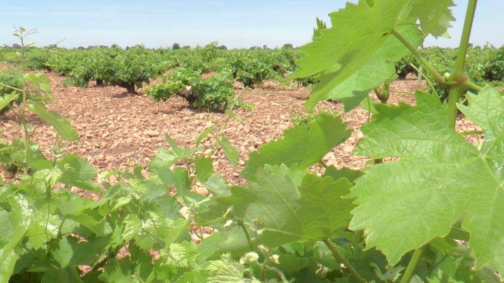 No es posible concebir La Mancha y su paisaje sin el viñedo
