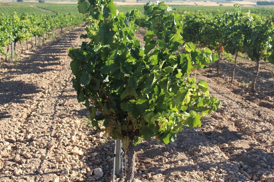 Variedad chardonnay en espaldera en La Mancha