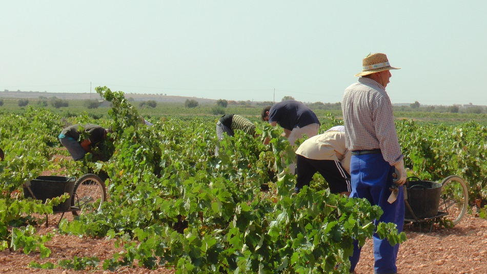 Recogida de tinta tempranillo en La Mancha toledana