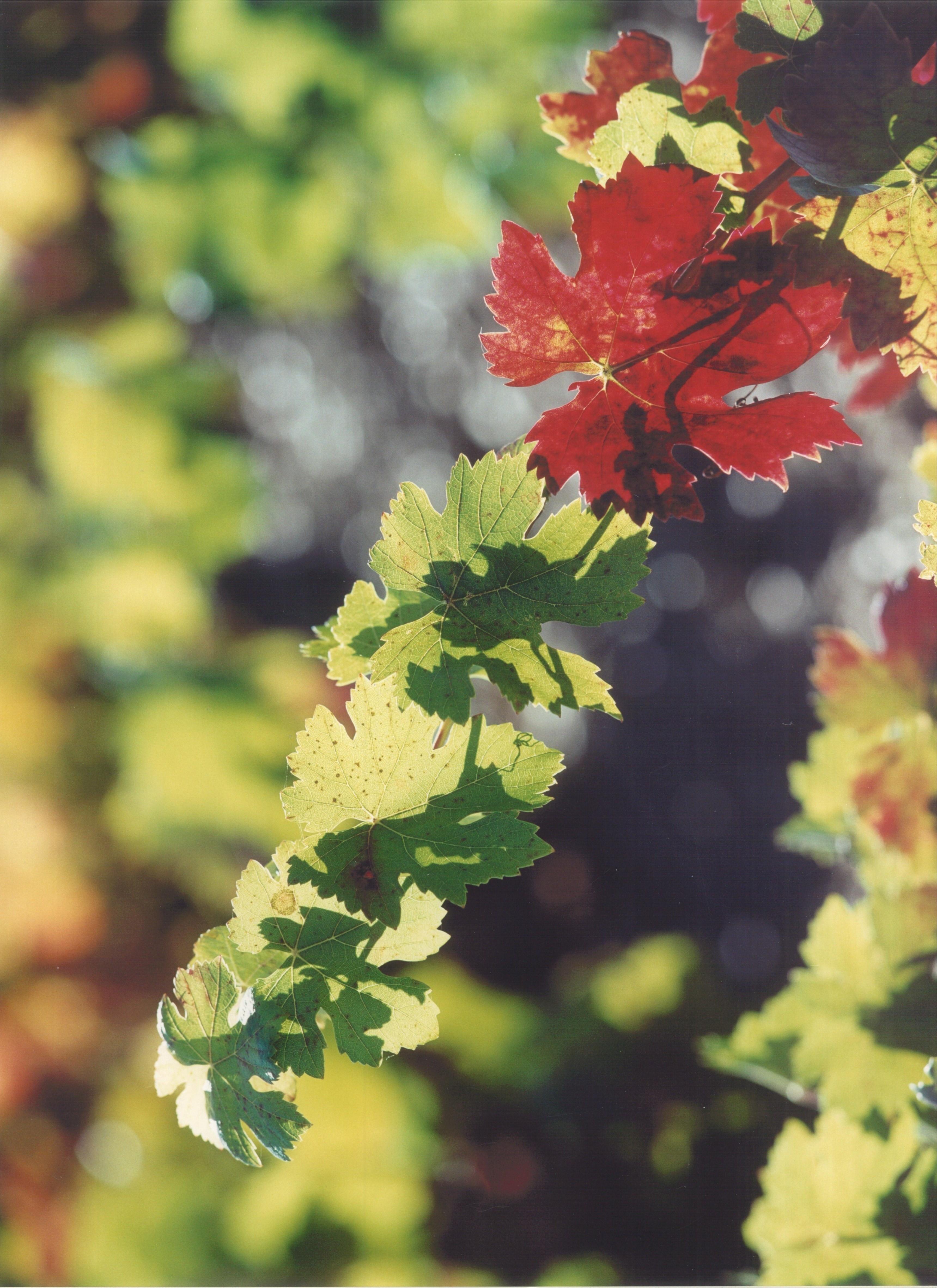 pámpana de vid en otoño