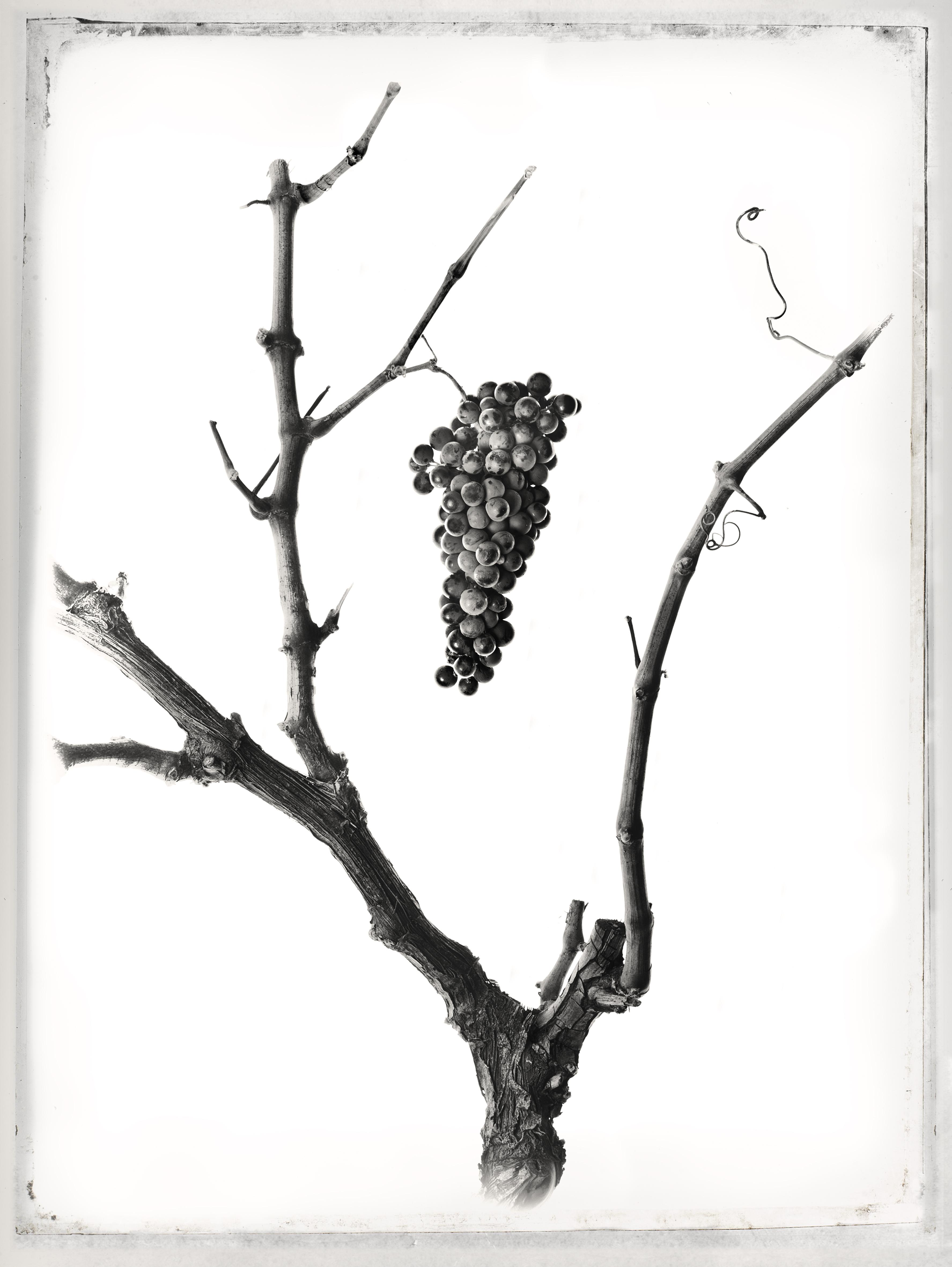 Anatomía de la vid - La Mancha Wines