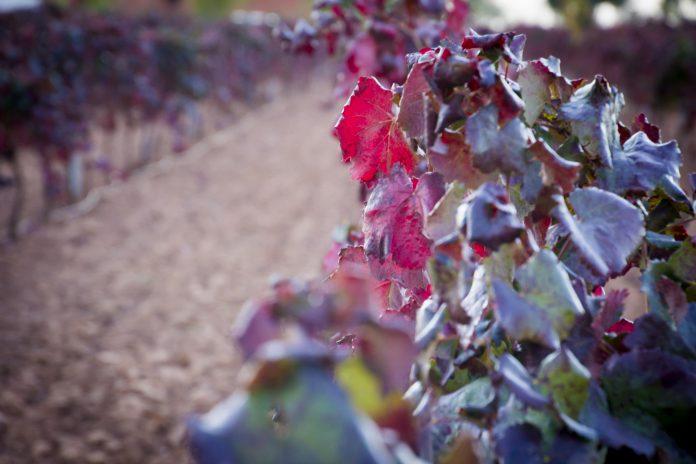 Hoja de vid en otoño