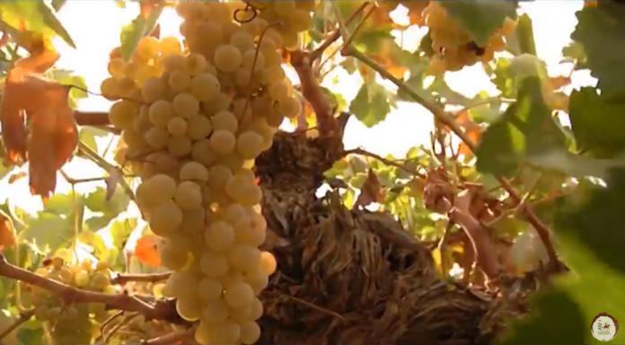Uva Airén - vinos de La Mancha