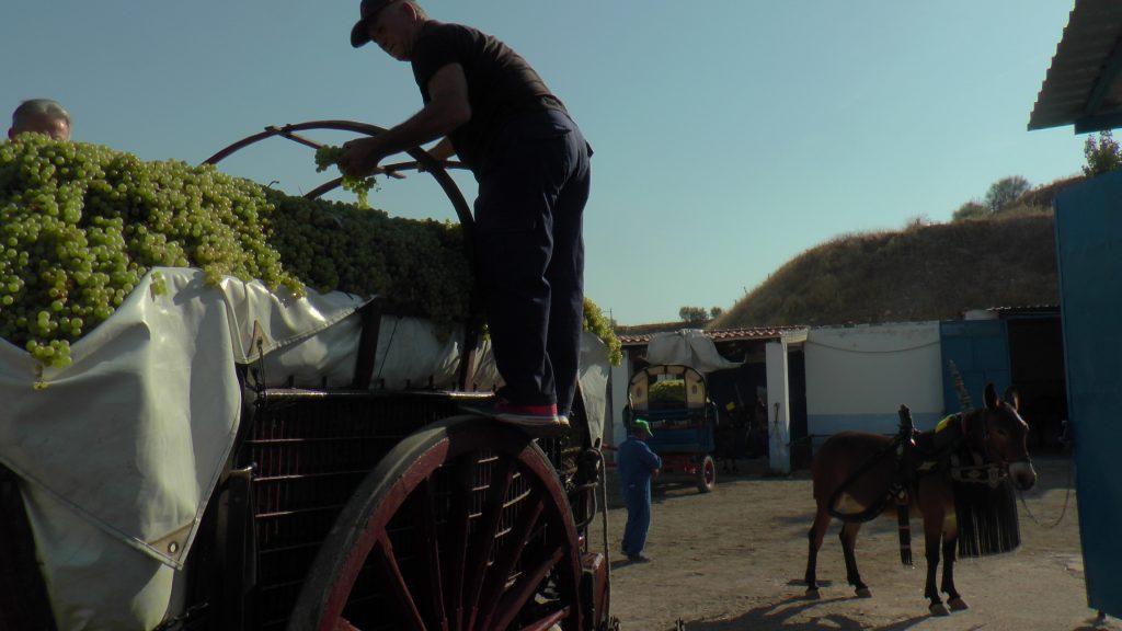 Un carrero en Tomelloso vendimia tradicional DO La Mancha