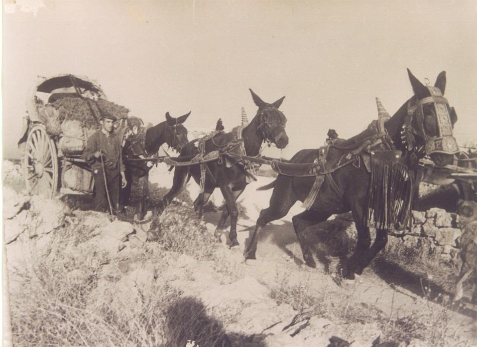Imagen de antigua vendimia en La Mancha con mulas