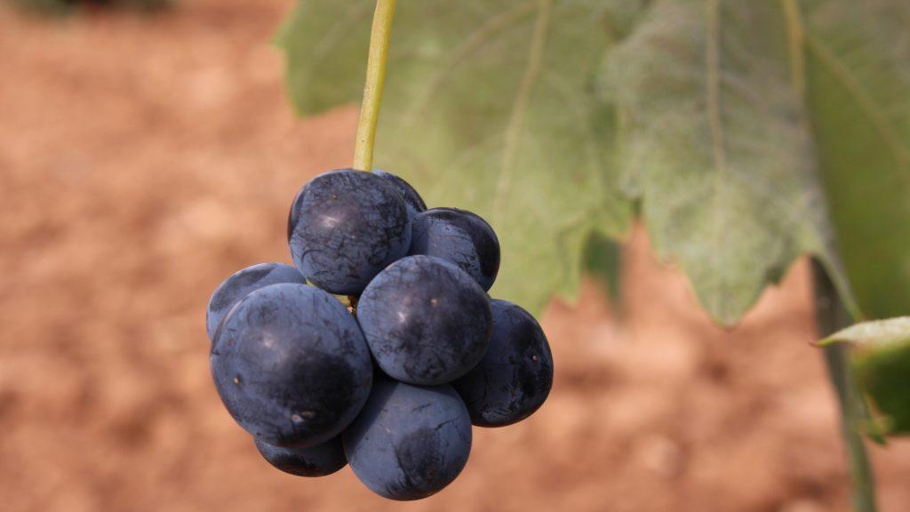 La variedad cencibel o tempranillo es la variedad tinta más cultivada en La Mancha