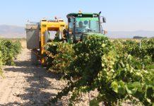 Las primeras variedades suelen recogerse con vendimia mecanizada