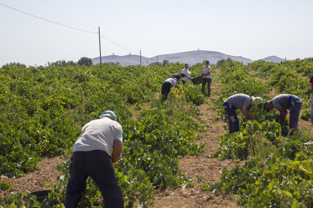La estampa de las cuadrillas en vendimias es general en todo el viñedo de La Mancha
