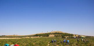 La variedad Airén recogida marca el tramo final de la vendimia en en DO La Mancha