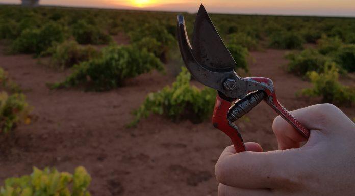 Tijeras de vendimia en un viñedo DO La Mancha