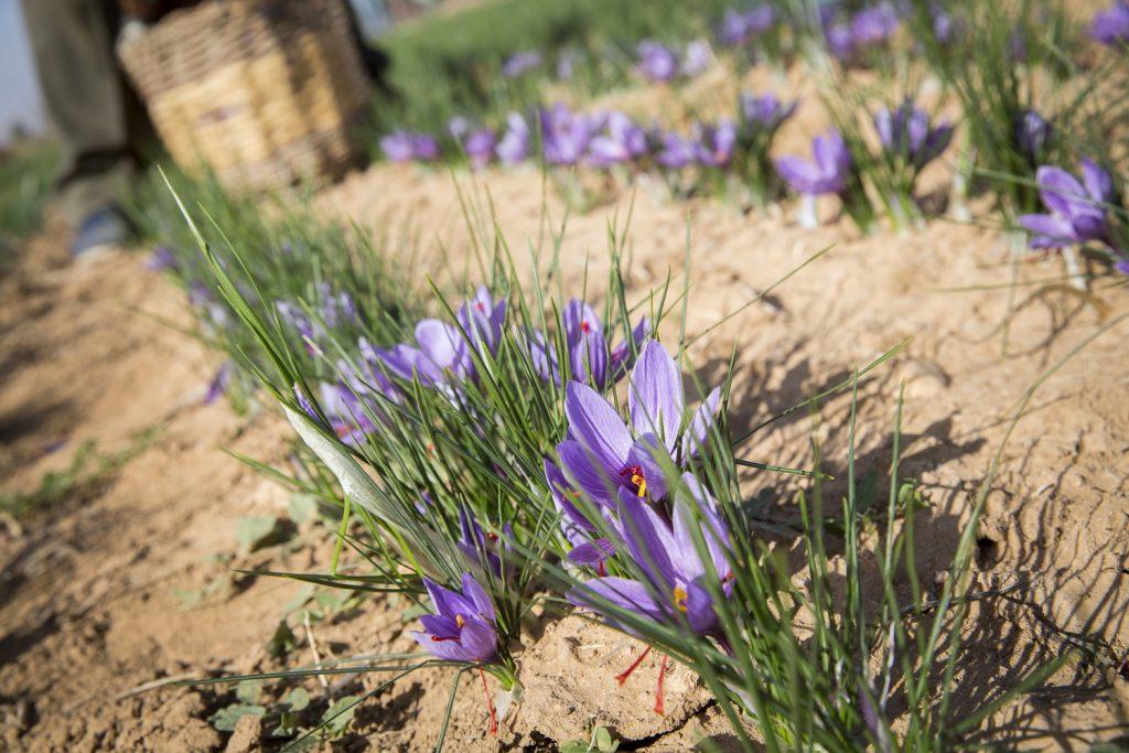 Recolección de azafrán. Foto cedida por DO Azafrán de La Mancha.