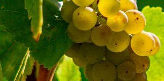 Uva Airén - Viticultura y características de la planta