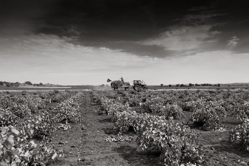 Trabajos vitivinñcolas en La Mancha