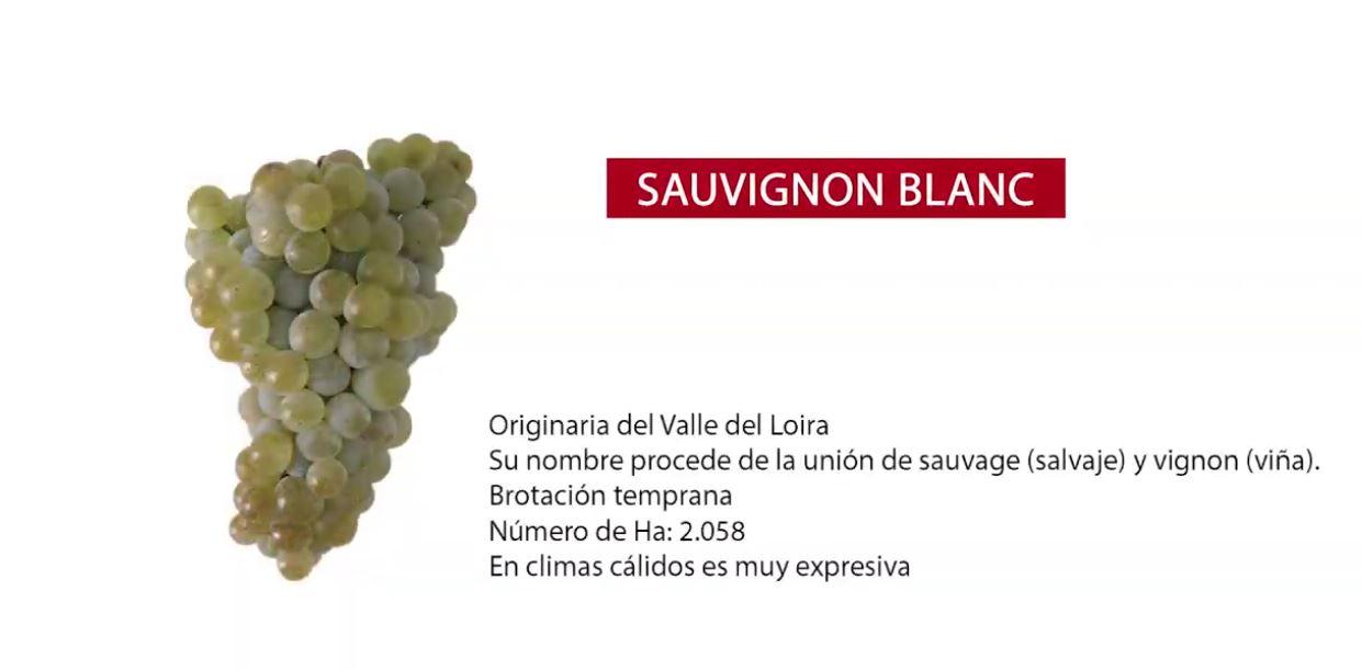 características uva Sauvignon Blanc