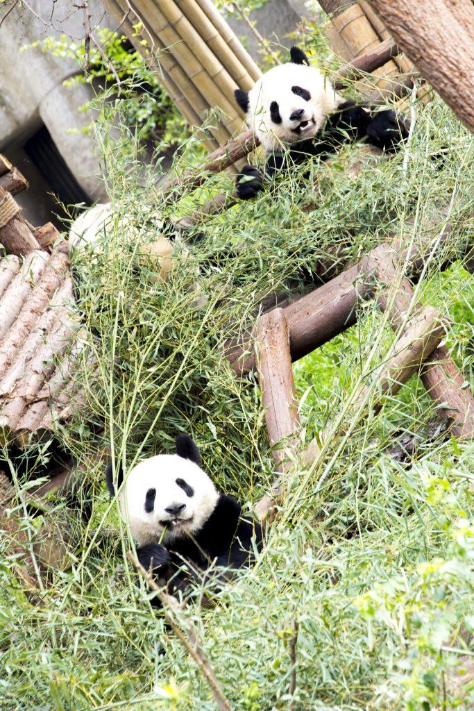 Chengdú conserva la mayor reserva de osos panda del mundo