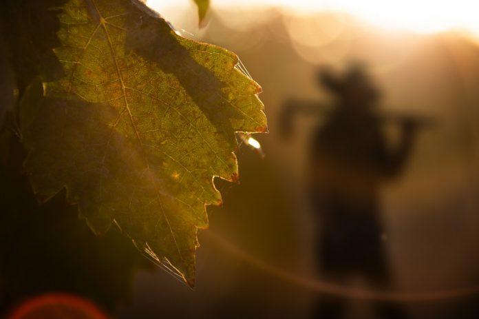 El viñedo, clave para evitar la despoblación en Castilla La Mancha