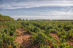 Viñedo en vaso arraigado en La Mancha