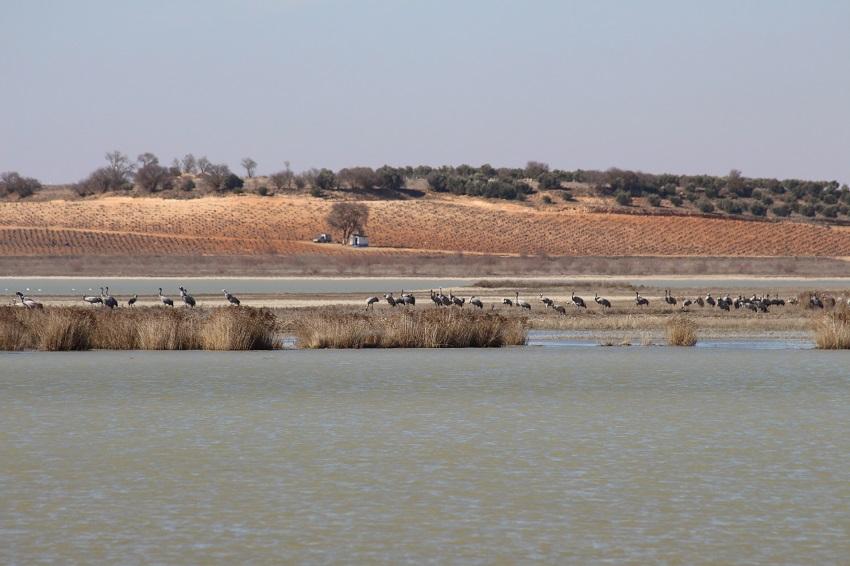 Grullas en las lagunas de Manjavacas