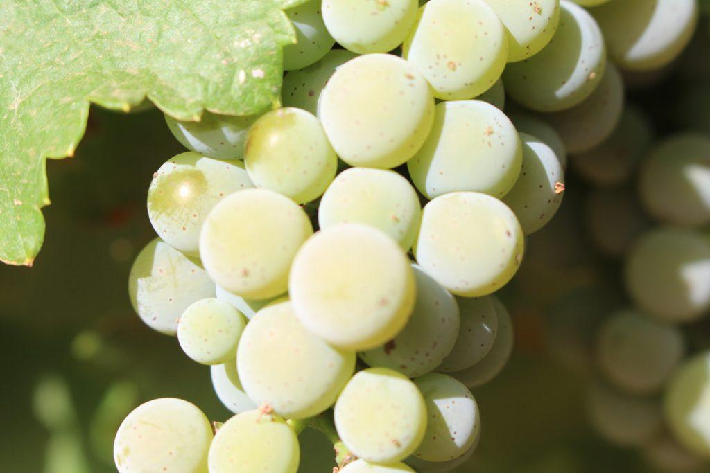 Chardonnay previa vendimia 2019