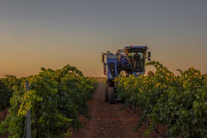 Vendimia mecanizada de la variedad chardonnay en DO La Mancha