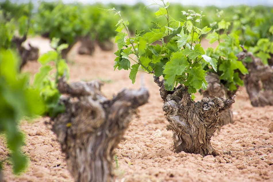 Vines in La Mancha