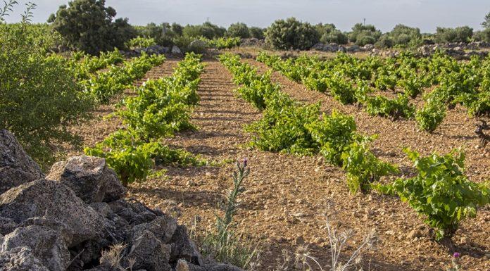 Imagen de los viñedos manchegoImagen de los viñedos manchegos en el mes de mayos en el mes de mayo