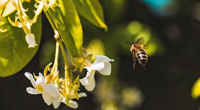 Las abejas son hoy imprescindibles en su polinización. Foto de @andreasonda