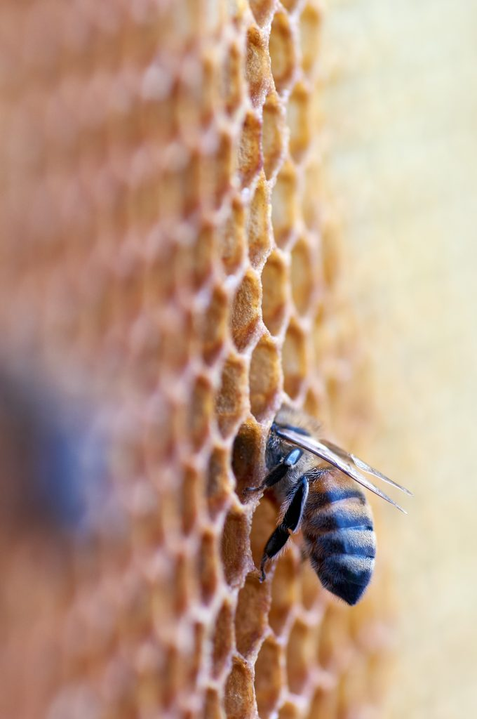 Una abeja obrera en su panal. Imagen de @wolfgang_hasselmann
