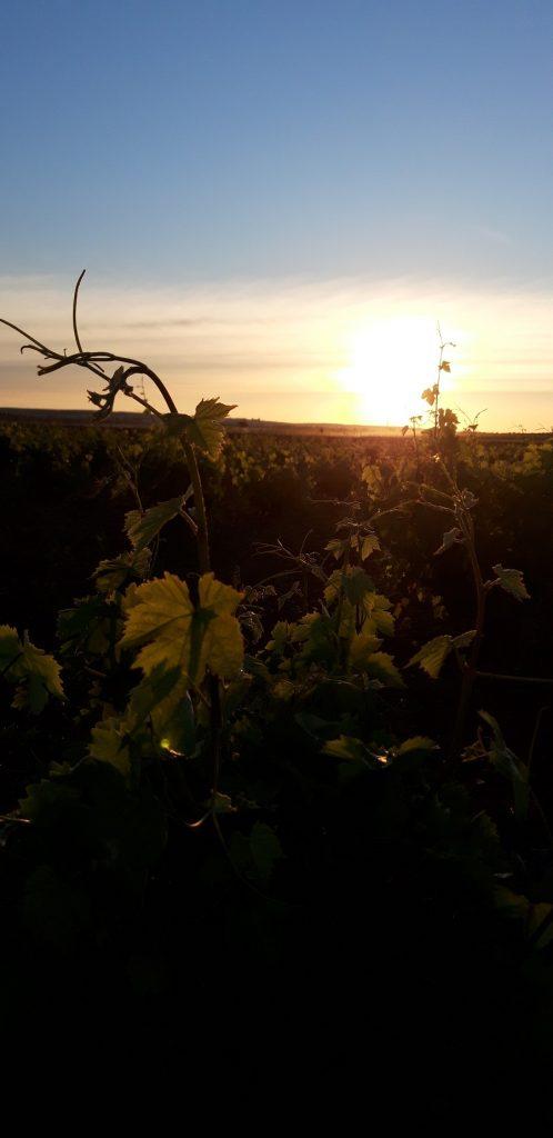 Amanecer en un viñedo de La Mancha