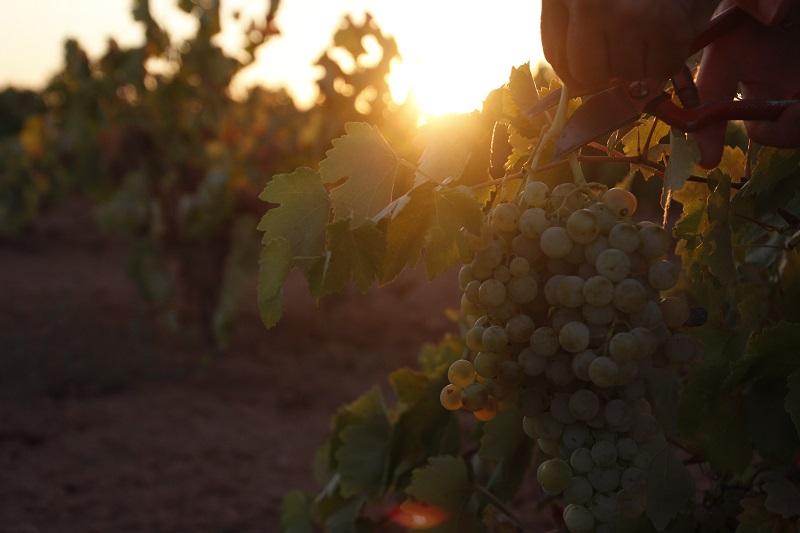 Racimo de uvas al amanecer