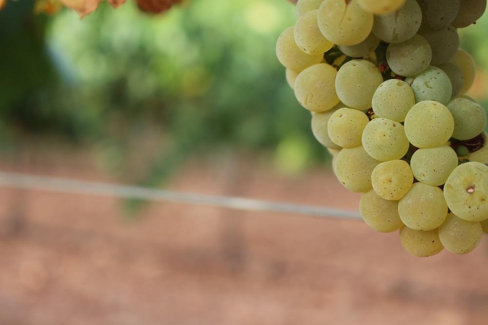 Vendimia 2020 con la blanca chardonnay