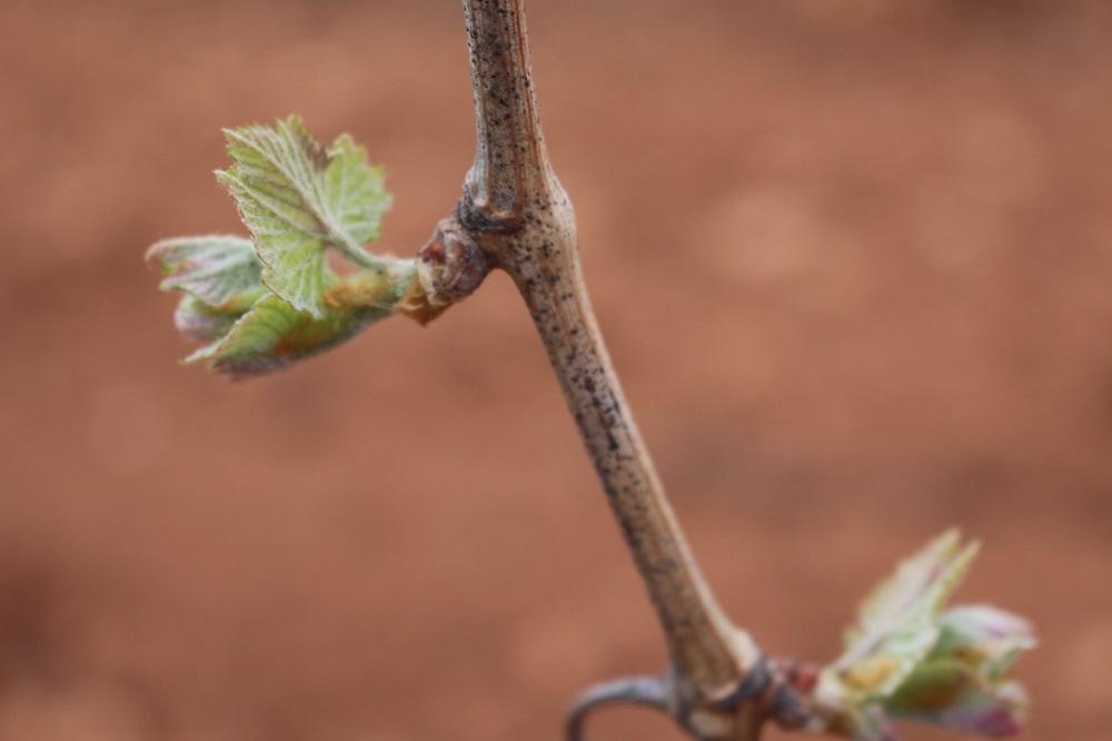 Brotes de vid en la variedad moscatel en primavera