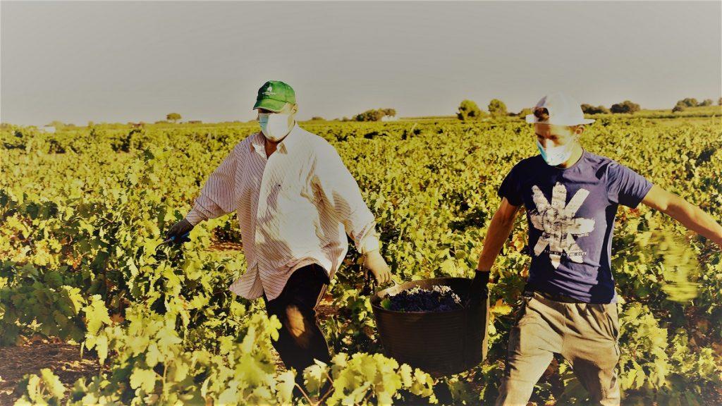 Vendimiadores portan una espuerta de tinta tempranillo DO La Mancha