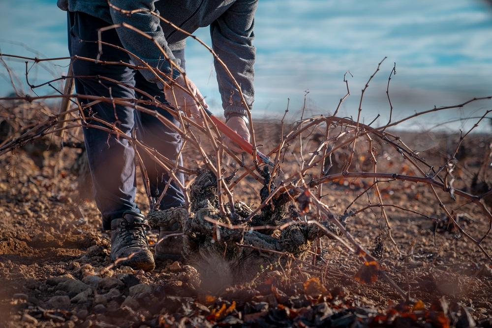 La viticultura continúa siendo fundamental en la sociedad manchega