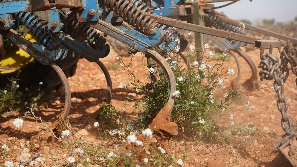 Laboreo en vaso en un viñedo de La Mancha