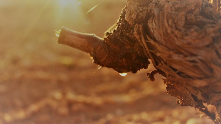 Llanto de la vid al amanecer en un viñedo de La Mancha
