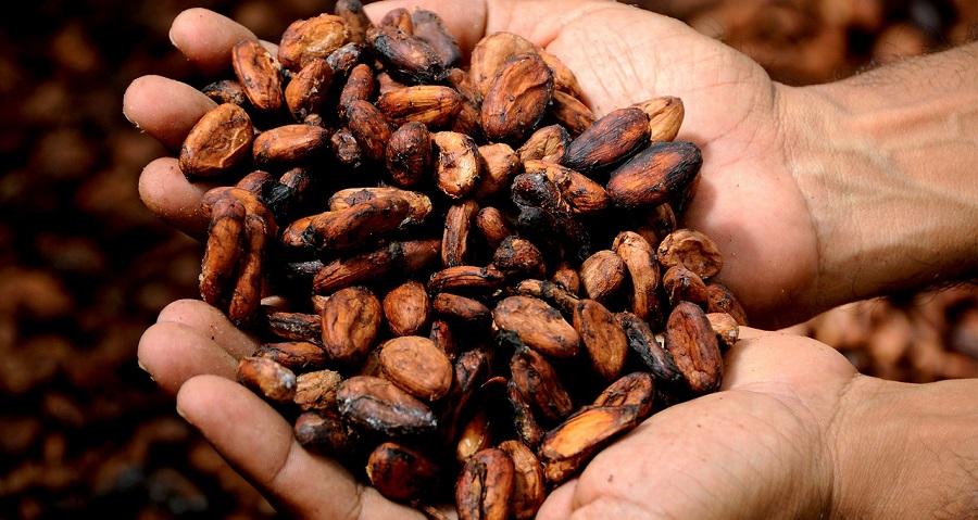 Granos de cacao, materia prima del chocolate